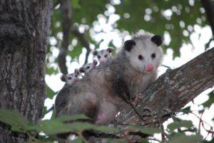 possum and babies