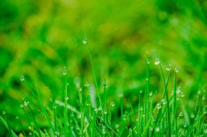 grassy dew