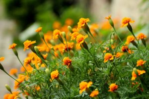 close up of marigold flowers